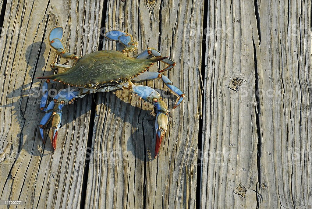 Maryland Blue Crab royalty-free stock photo