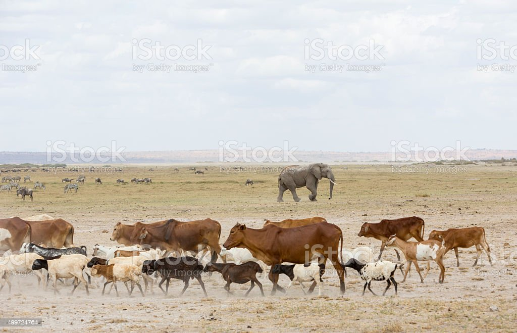 Masai cattle and wild life in Amboseli National park. stock photo