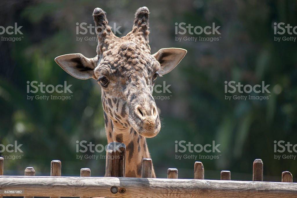Masai Giraffe head stock photo