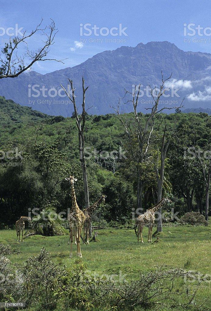 Masai giraffe herd in Arusha National Park stock photo