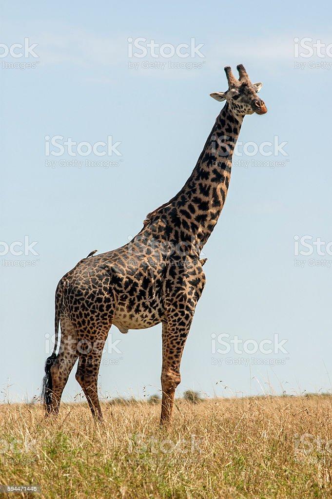 Masai giraffe on the open, Masai Mara Game Reserve, Kenya stock photo