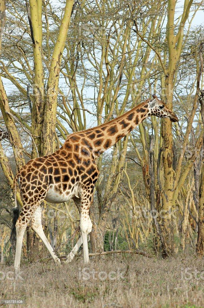 Masai Giraffe stock photo