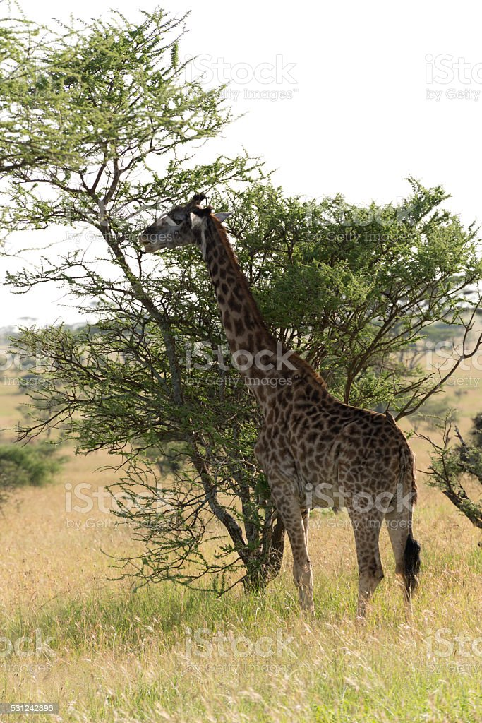 masai giraffe (Giraffa camelopardalis tippelskirchi) stock photo