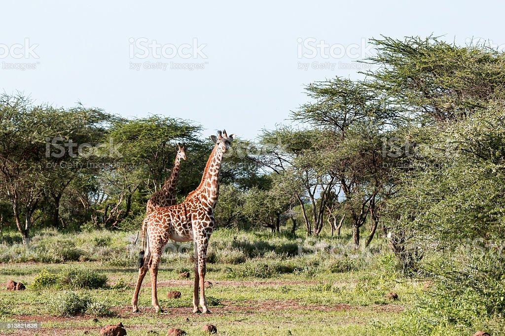 Masai Giraffes at Ambosel stock photo
