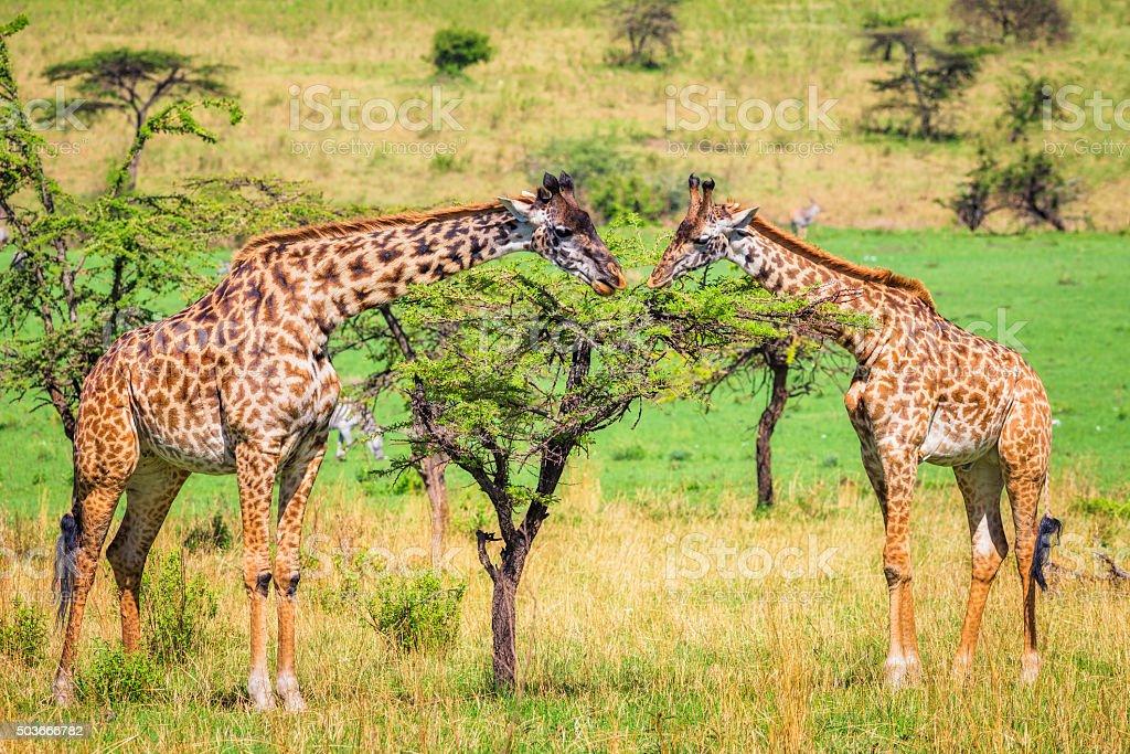 Masai Giraffes in Serengeti N.P. - Tanzania stock photo