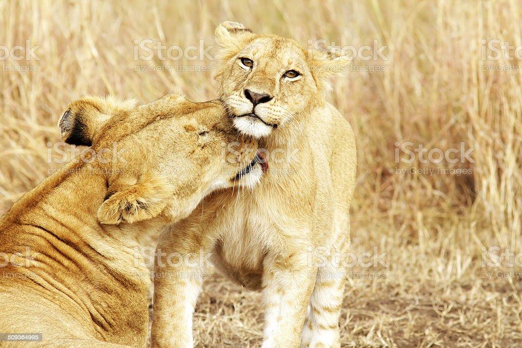 Masai Mara Lion Cub stock photo