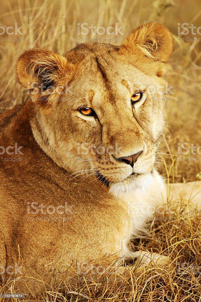 Masai Mara Lion royalty-free stock photo