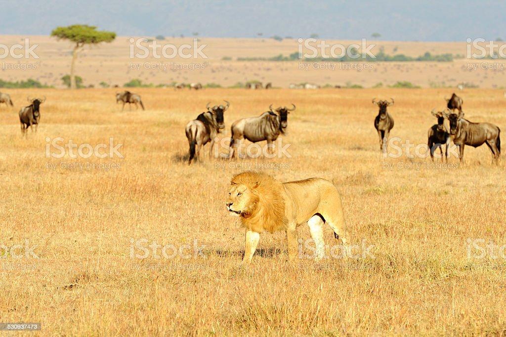 Masai Mara Lion stock photo