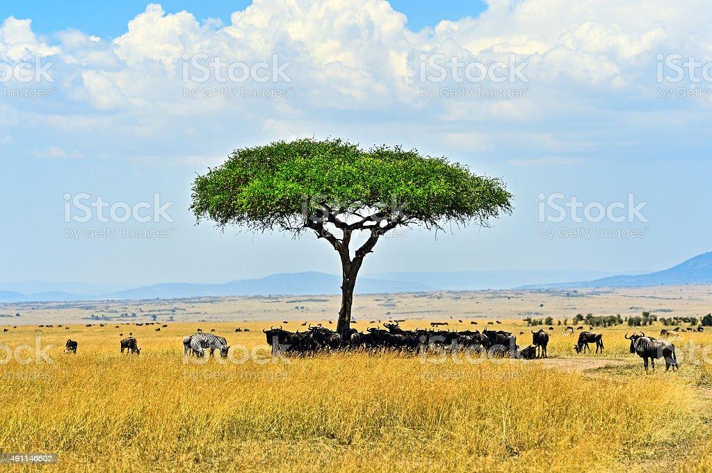 Masai Mara Wildebeest stock photo
