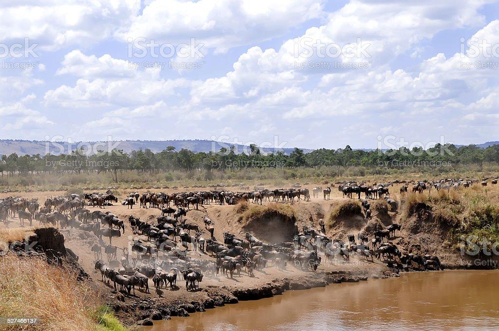 Masai Mara Wildebeests stock photo