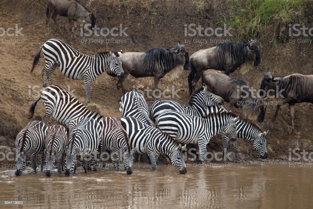 Masai Mara Zebra Migration, Kenya stock photo