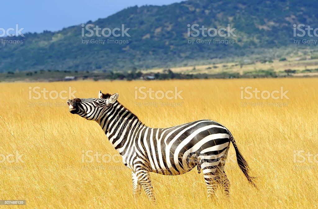 Masai Mara Zebra stock photo