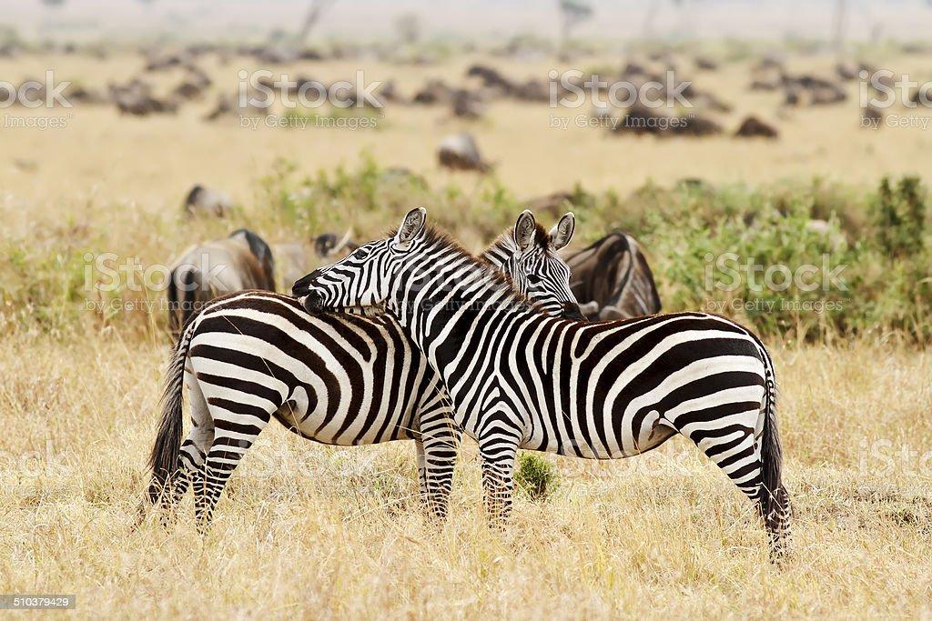 Masai Mara Zebras stock photo