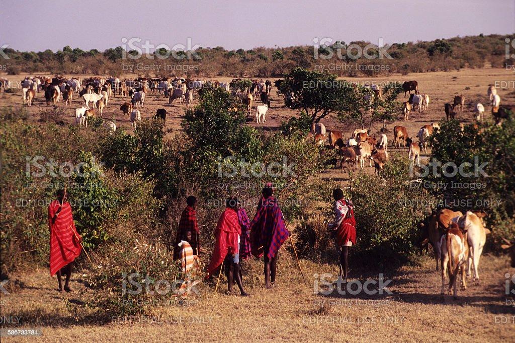 Masai warriors herding cattle near Masai Mara Reserve stock photo