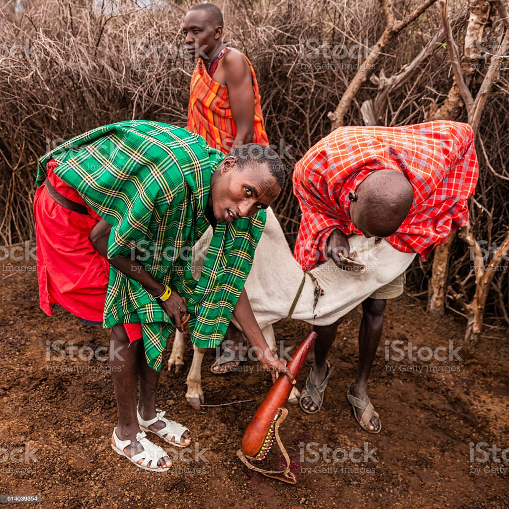Masai warriors taking blood from a cow's vein, Kenya, Africa stock photo