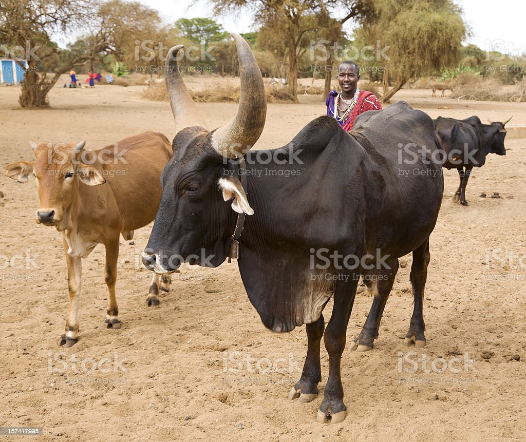 Masai with cattle. royalty-free stock photo
