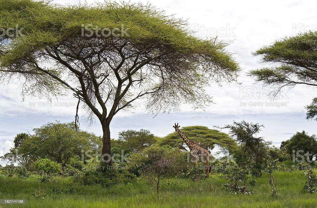Masai-Giraffe under a green Acaccia-Tree, Wildlife-Shot stock photo