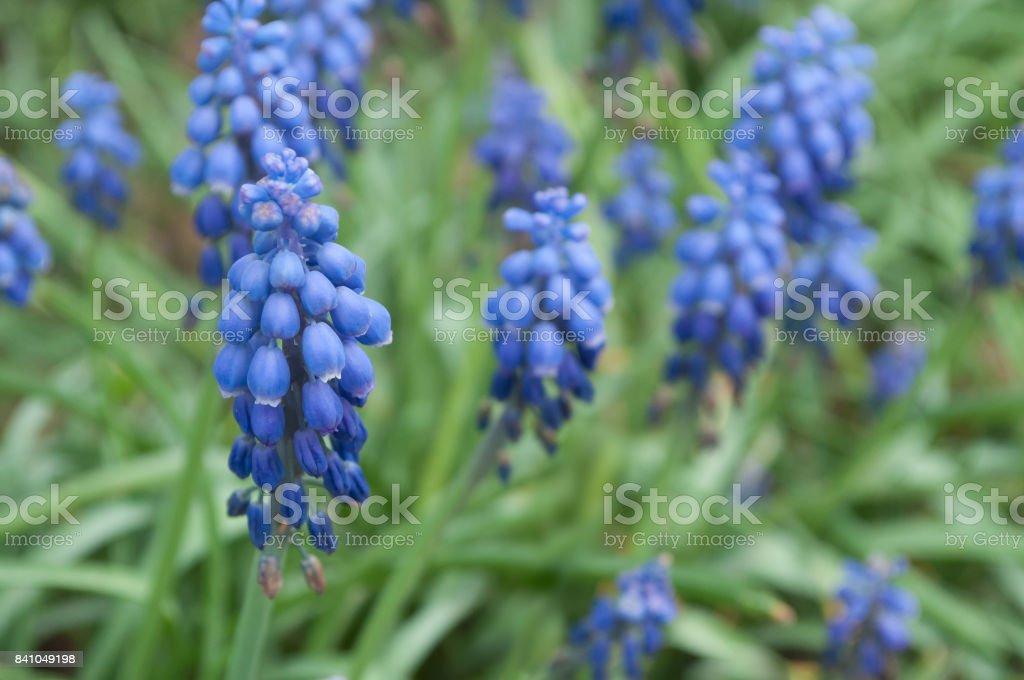 mascari blue flowers in a garden stock photo