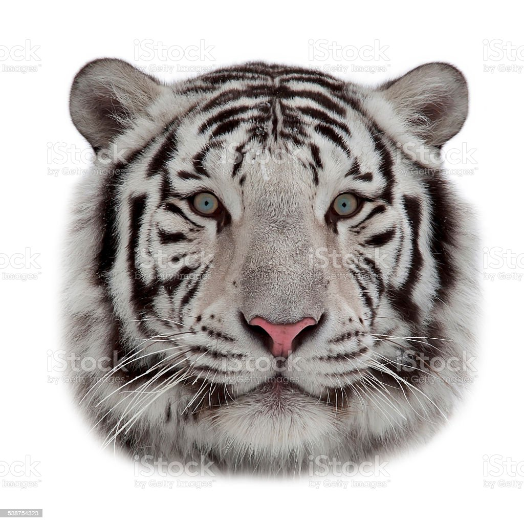 Mask of a white bengal tiger. stock photo