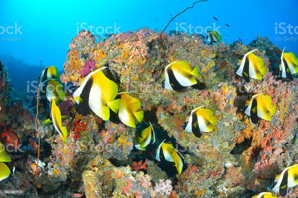 Ocultos bannerfish foto de stock royalty-free