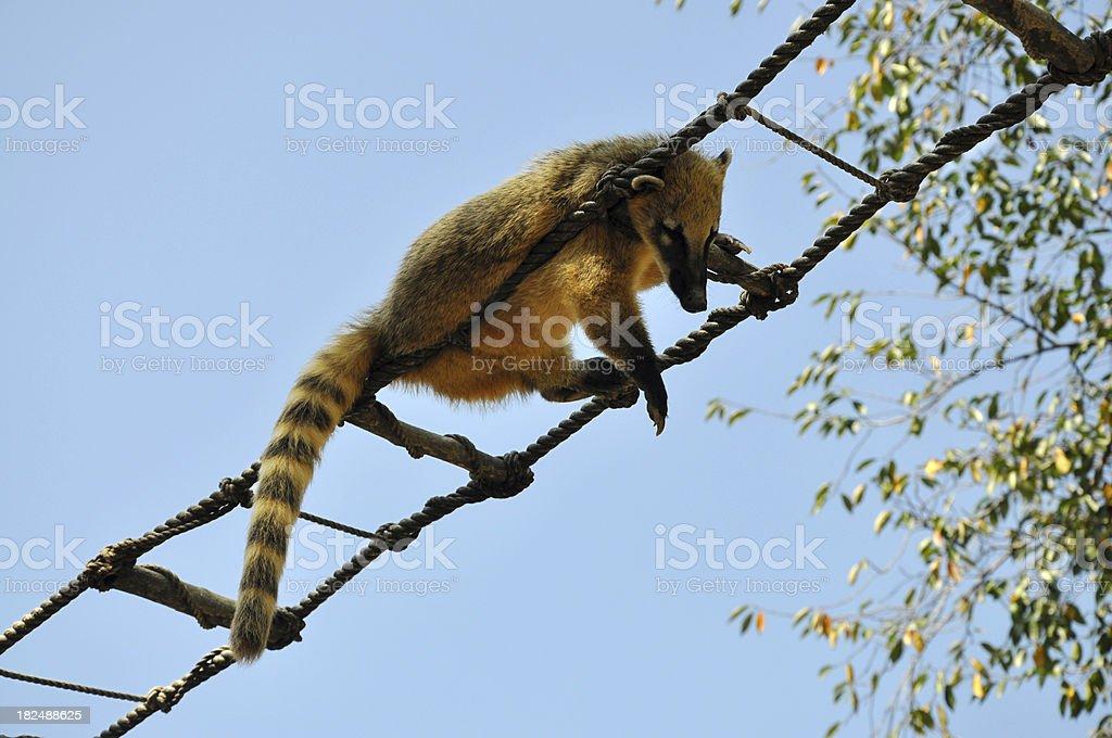 Masked / Himalayan Palm Civet Cat stock photo