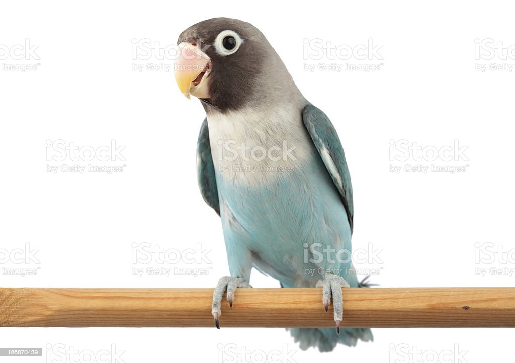 Masked Lovebird in Blue Color Mutation stock photo