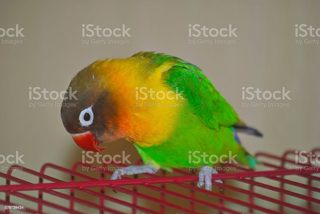 Masked lovebird or Agapornis personatus stock photo