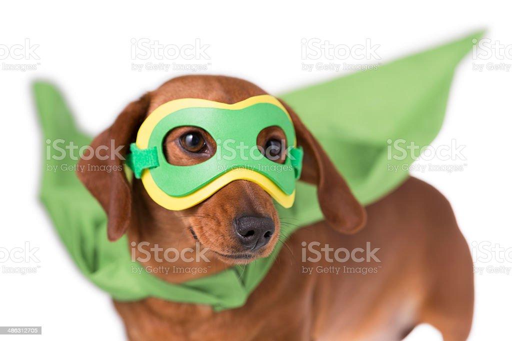 Masked superhero Dachshund dog stock photo