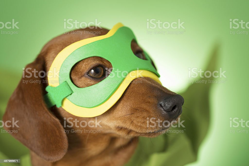 Masked superhero pet dog stock photo