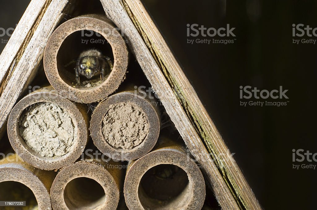 Mason Bee royalty-free stock photo