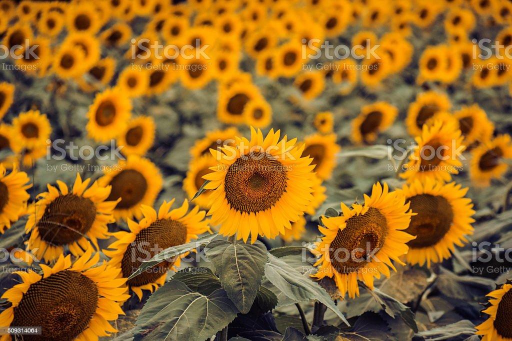 Mass of dreamy golden summer sunflowers stock photo