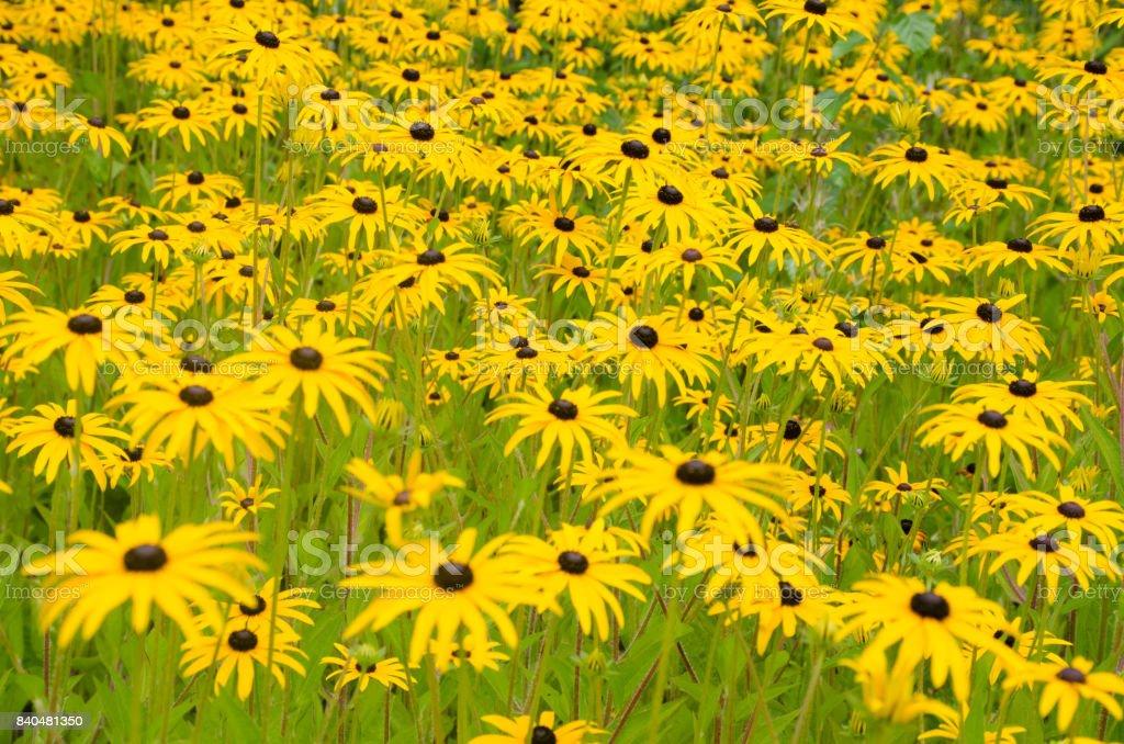 Mass of Rudbeckia flowers stock photo
