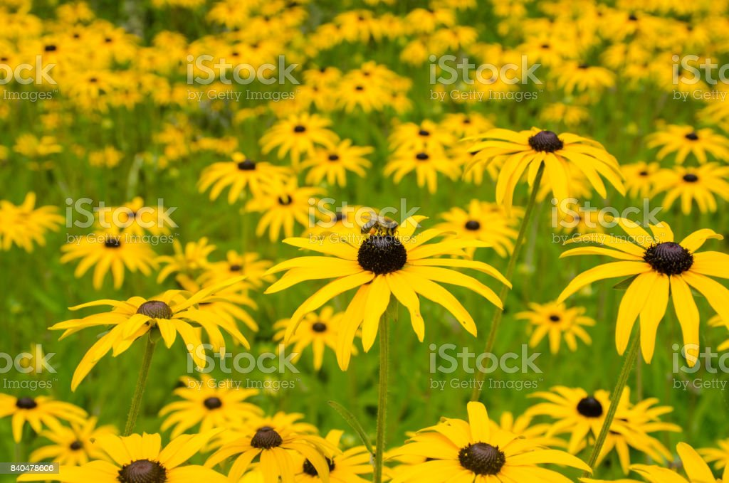 Mass of Rudbeckia flowers with bee on top stock photo