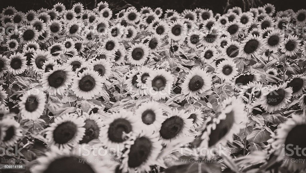 Mass of sunflowers heads thick as thieves black and white stock photo