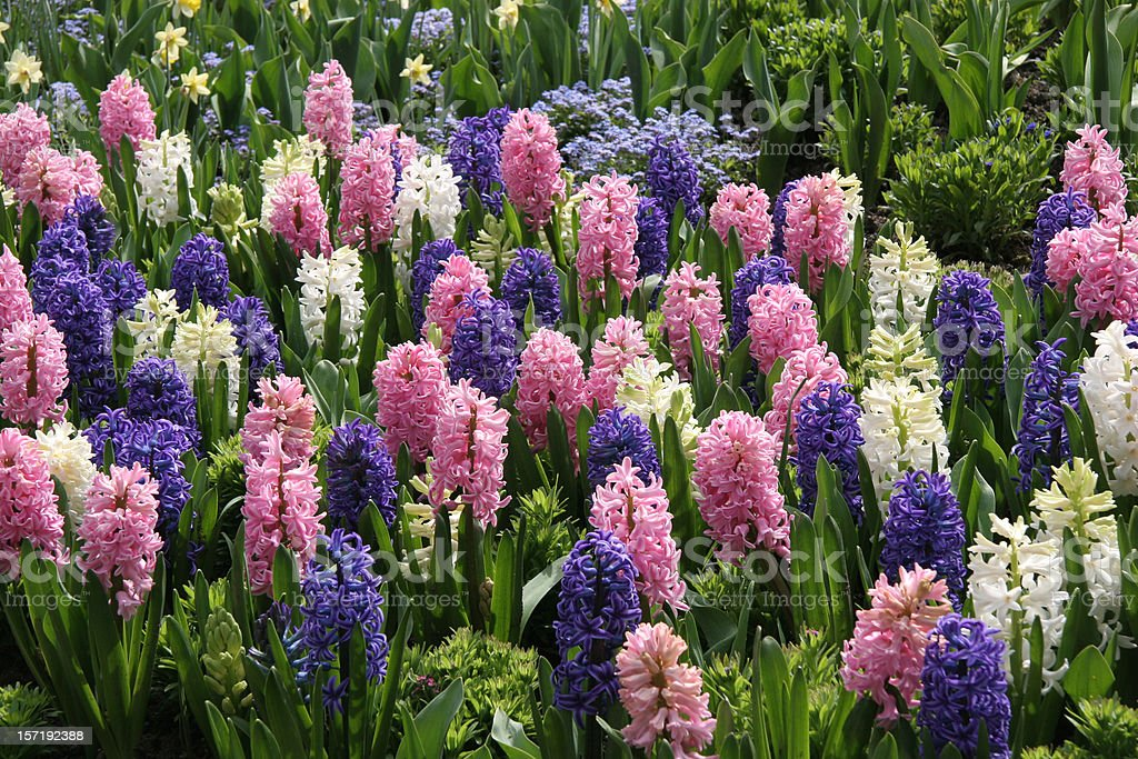 Mass Planting of Perfect Spring Hyacinths stock photo