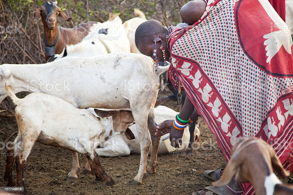 Massai woman with cild on back milking cow. royalty-free stock photo