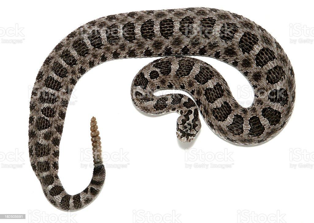 Massasauga Rattlesnake royalty-free stock photo