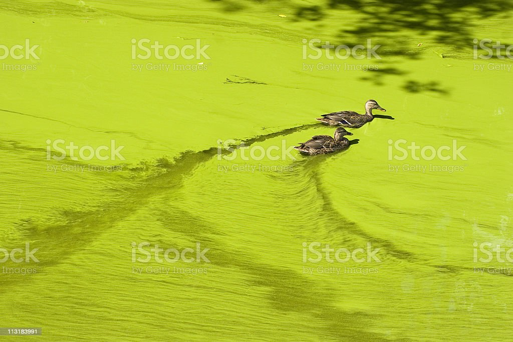 Massive algal bloom royalty-free stock photo