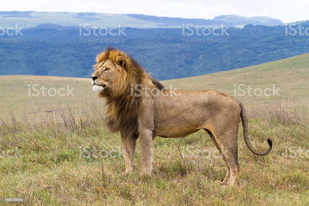 Massive male lion royalty-free stock photo