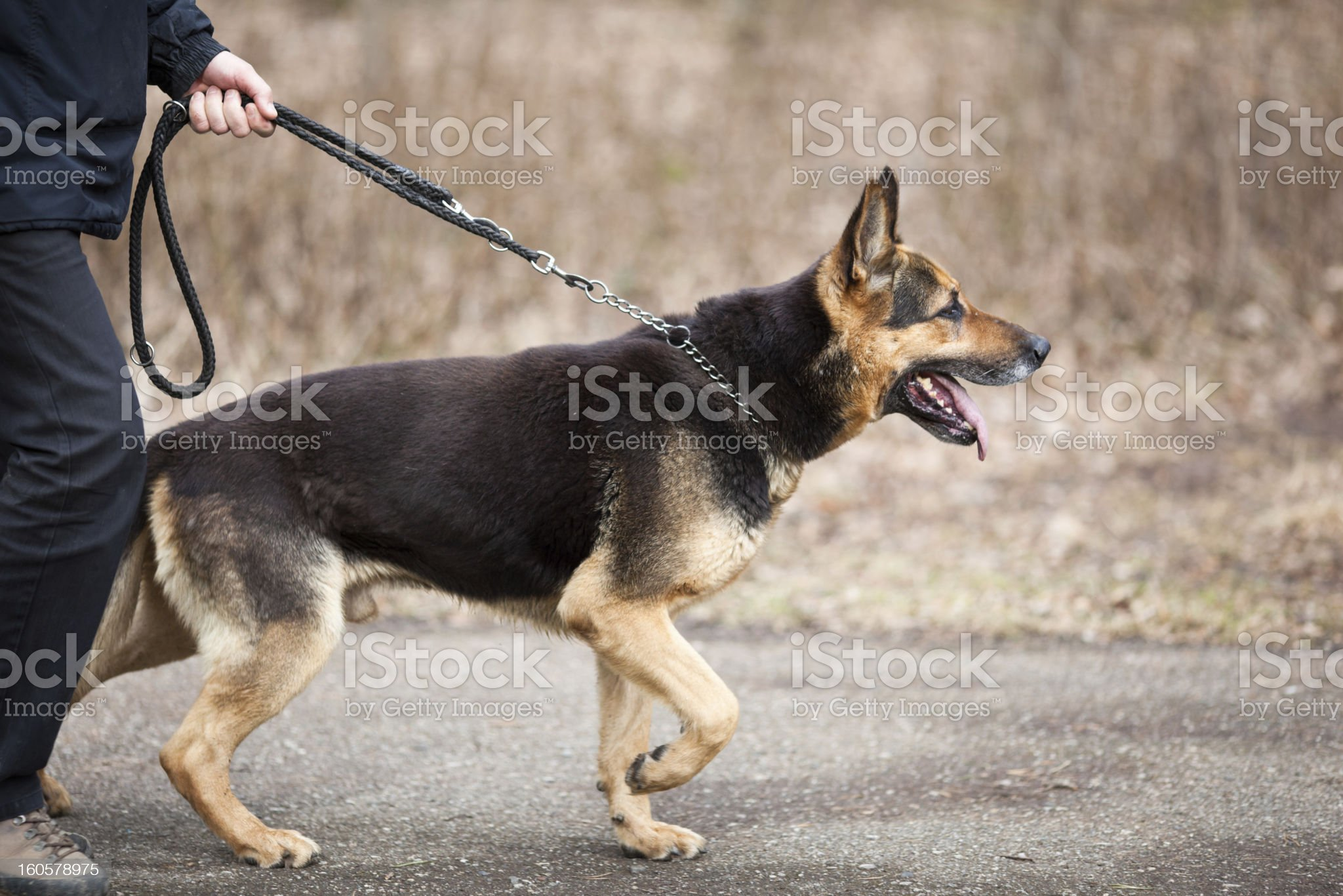 Master and his obedient (German Shepherd) dog royalty-free stock photo