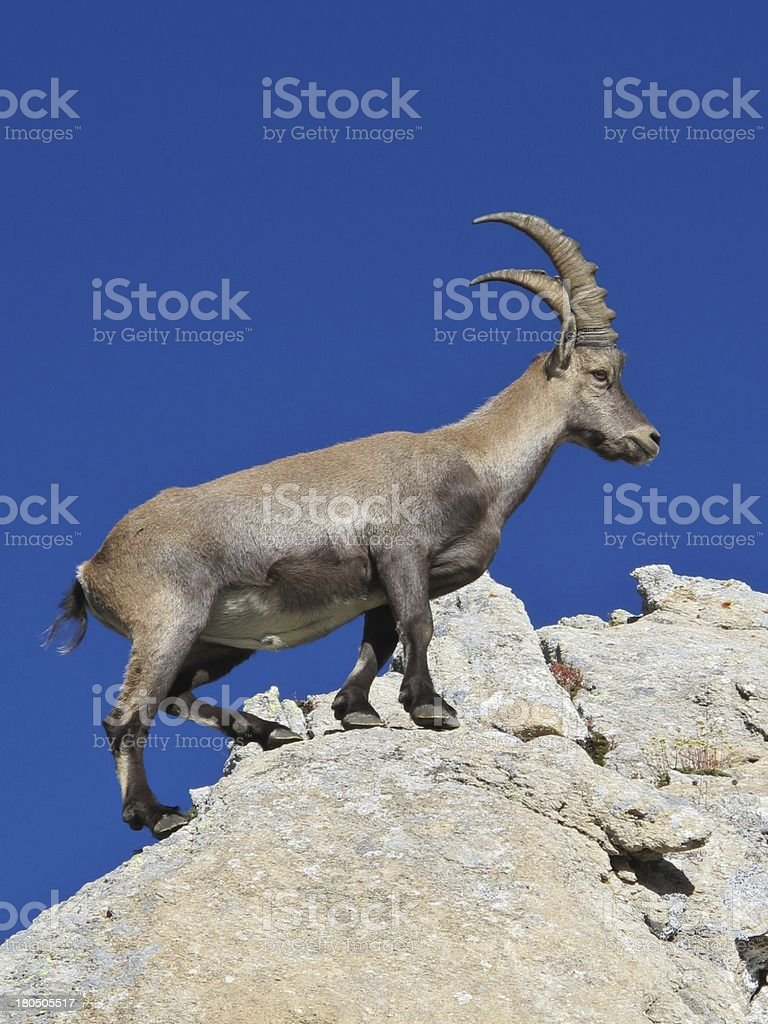 Master climber alpine ibex royalty-free stock photo