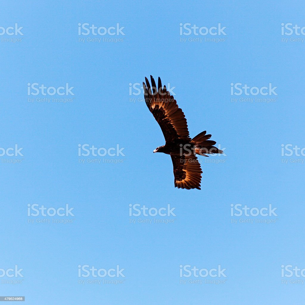 Master of the skies - Wedge-tail Eagle soaring stock photo