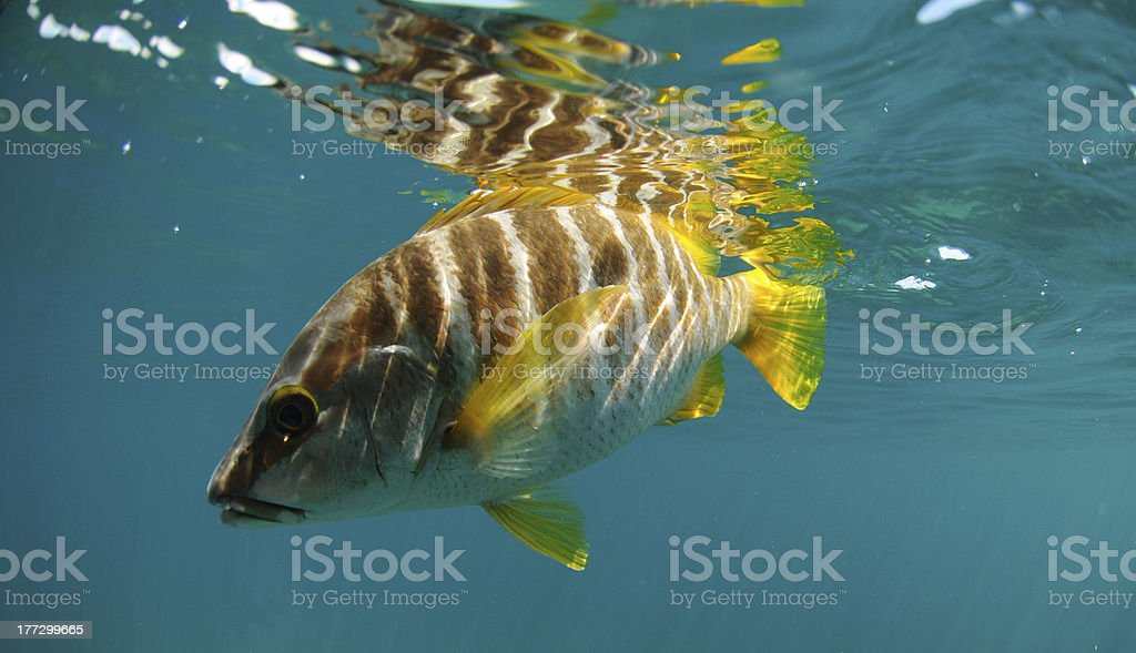 Master snapper fish swimming in ocean stock photo