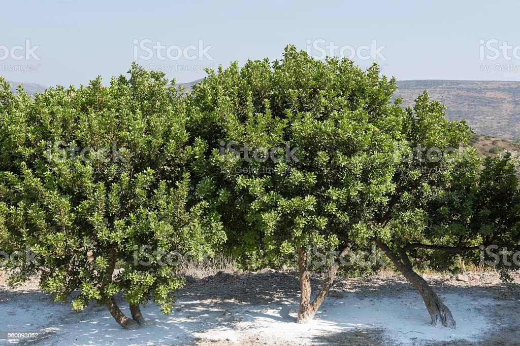 Mastic trees on the Greek Island of Chios stock photo