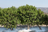 Mastic trees on the Greek Island of Chios