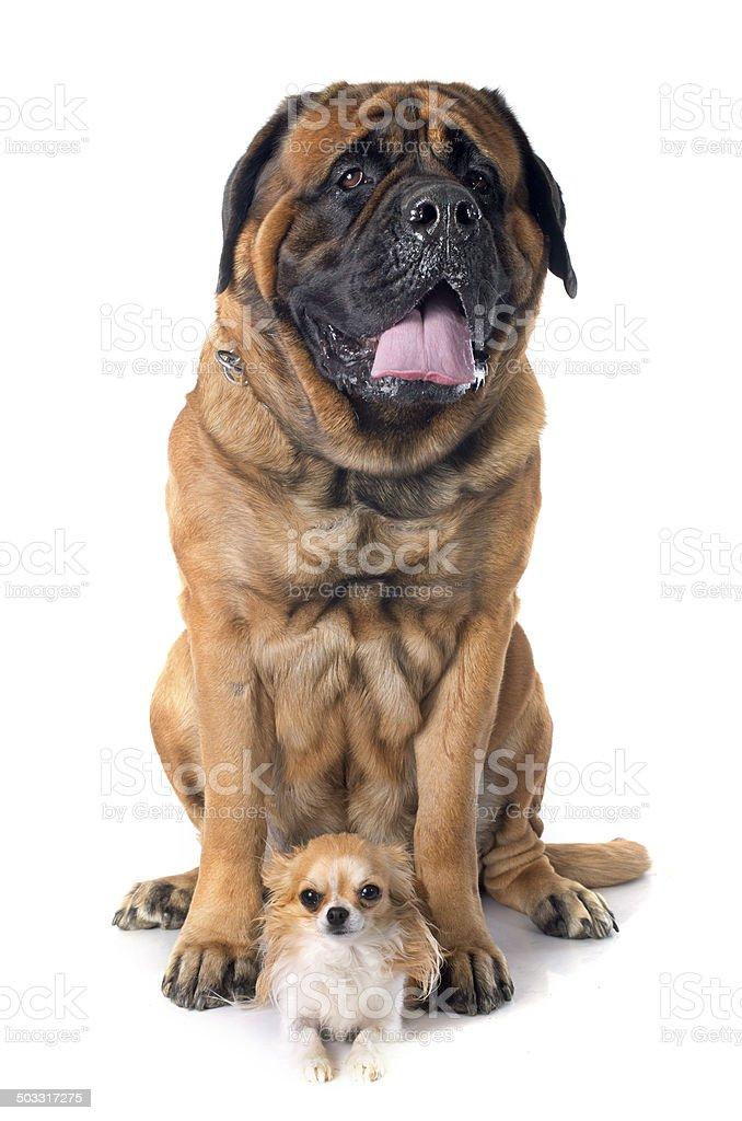 mastiff and chihuahua stock photo