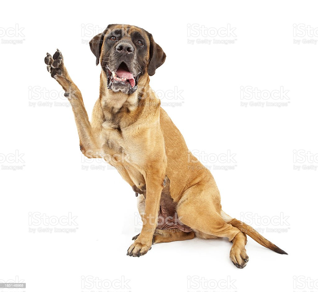 Mastiff Dog With Paw in Peace Sign stock photo