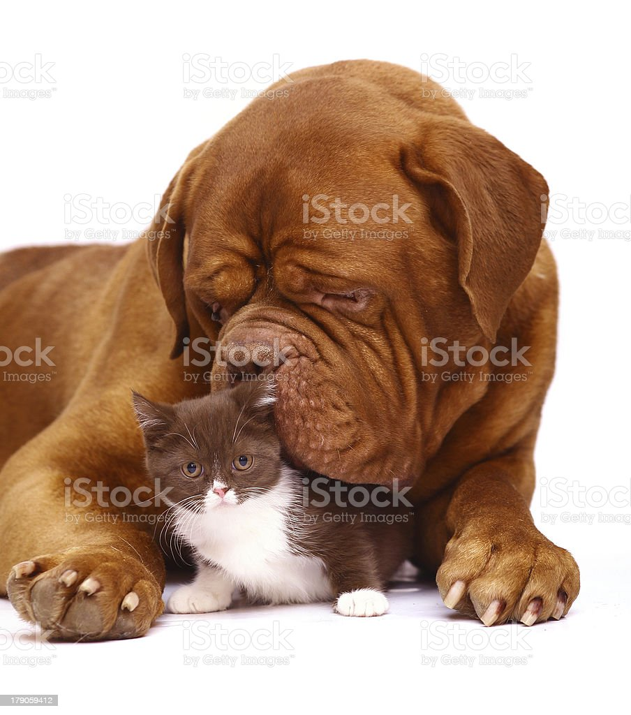 Mastiff from Bordeaux and a small kitten. stock photo