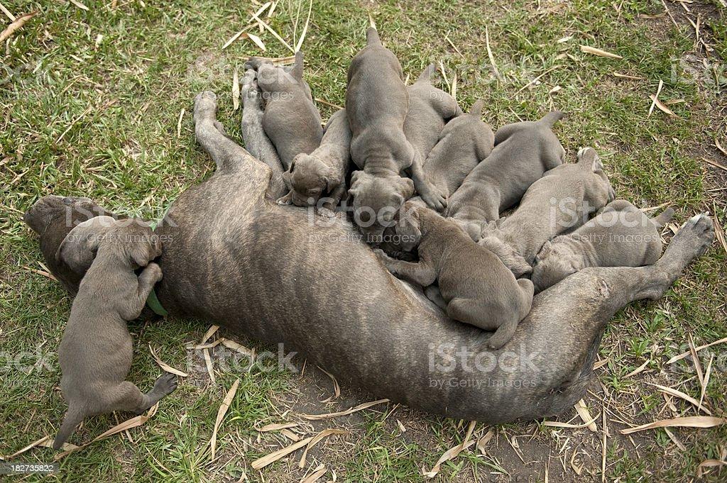 mastiff mother nursing her puppies royalty-free stock photo