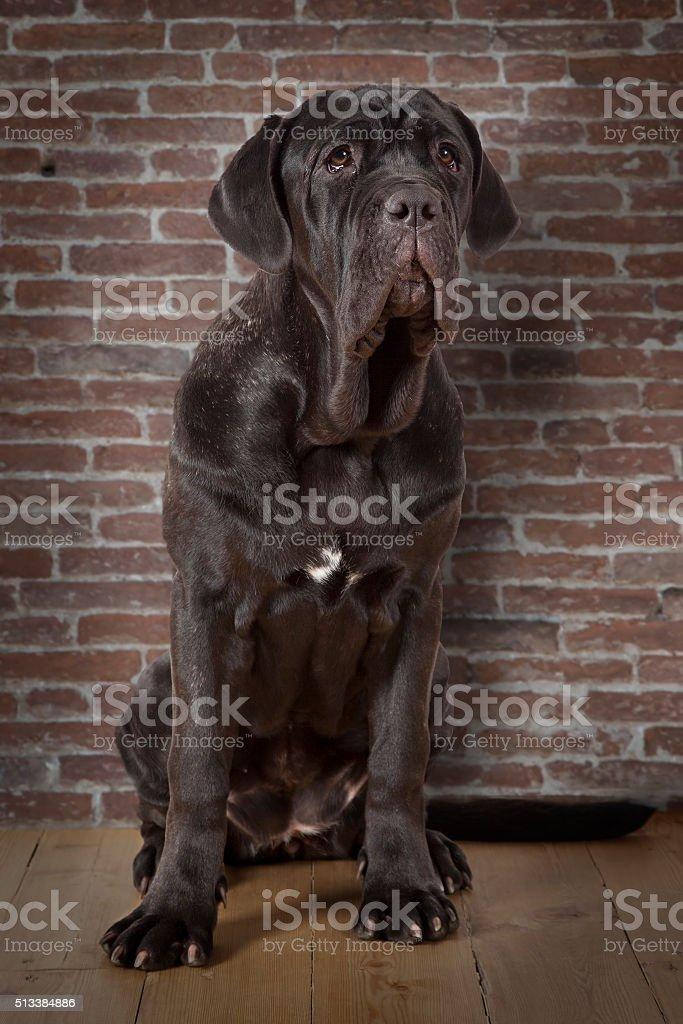 Mastiff neopolitano dog indoors stock photo